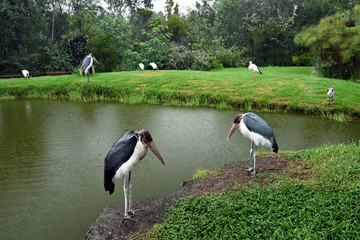 Marabou in South Africa