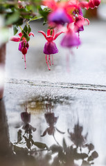 Pink flowers reflecting in the rain water