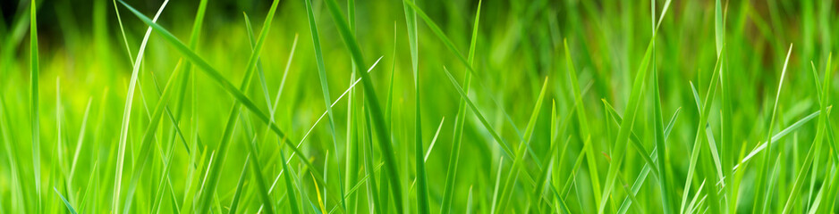 Panoramic view of green grass on green colorful bokeh background, panoramic view of wild grass on...