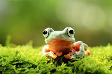Zelfklevend Fotobehang Kikker tree frog, java tree frog, flying frog sitting on moss ( rhacophorus reinwardtii )