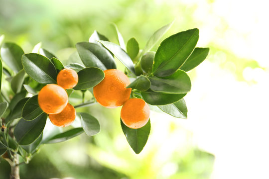 Citrus fruits on branch against blurred background. Space for text