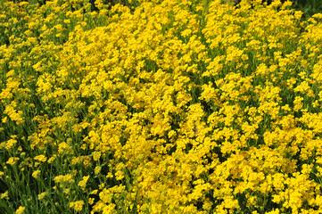 yellow flowering golden alison in spring garden