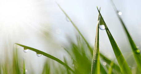 Wall Mural - Transparent drops of water dew on grass close up. Spring nature background.