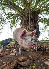 Pigs in a farm eating coconuts, Shefa Province, Efate island, Vanuatu