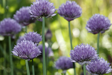Blossoms of chives Allium schoenoprasum