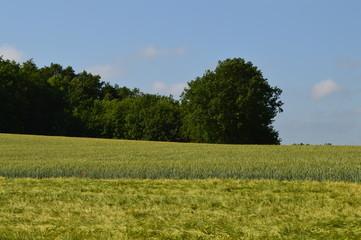 Anfang Sommer. Mohnblumen auf den Kornfeldern Fotoväggar
