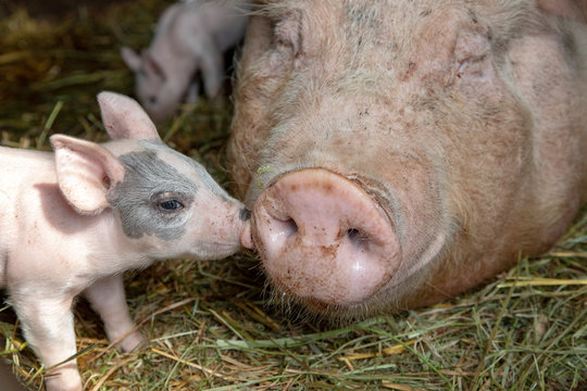 Newborn tiny pink cute piglet with mini nose kisses huge nose of mother pig who is lying on the floor in a stable on the straw.