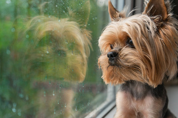 The dog looks out the window, the rain outside the window, the Yorkshire terrier