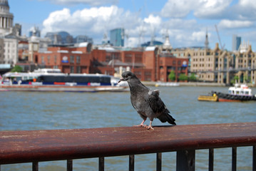 Dove sitting on the railing on background of the River Thames during the daytime, London, UK