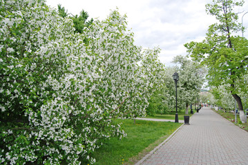 Flowering trees in the city center of Tyumen in May, Russia