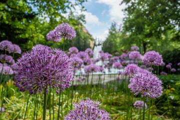 lila Zwiebelblume im Park
