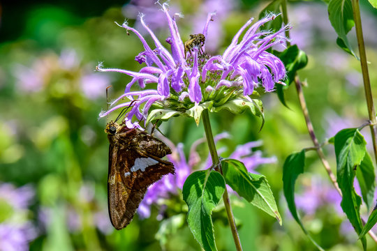 Bee Balm with Silver Spotted Skipper Butterfly