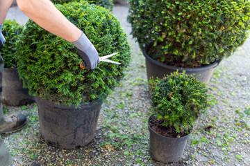 Gärtner schneidet Eibenkugeln in Form, Frühjahrspflege im Garten
