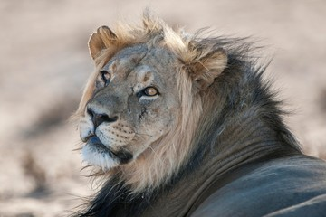 Lion (Panthera leo), looking back, portrait, Kgalagadi Transfrontier National Park, Northern Cape Province, South Africa, Africa