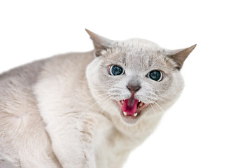 An angry Tonkinese cat hissing