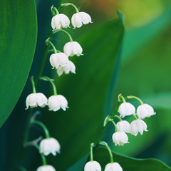 Wall Murals Lily of the valley Blossoming flowers of lily of the valley in early morning outdoors macro