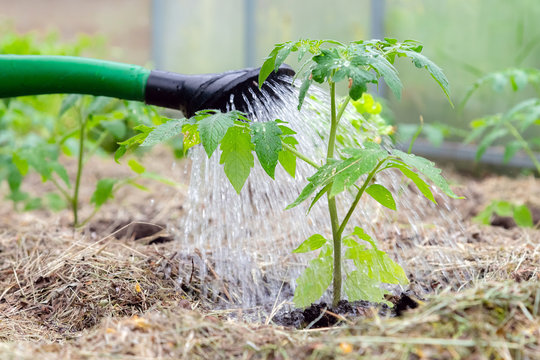Plastic sprinkling can or funnel watering tomato plant in the greenhouse. Organic home grown tomato plants without vegetables surrounded by mulch being watered