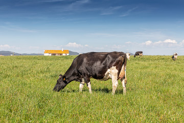Fond de hotte en verre imprimé Vache Dairy cow of the Holstein breed Friesian, grazing on green field.