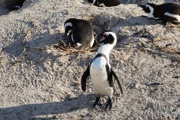 Pinguin öffnet Schnabel und zeigt Zähne