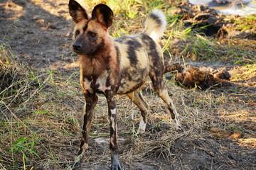 Afrikanischer Wildhund in Wachstellung