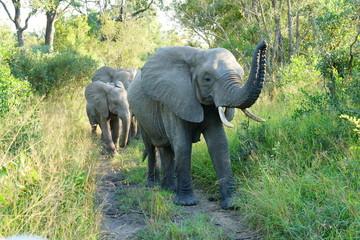 Elefanten mit Kalb auf Wanderschaft