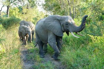 Elefantenkuh führt eine Kleingruppe Kälber
