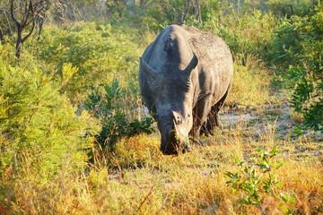 Nashorn Rhinozeros mit gesenktem Kopf und Blick in die Kamera