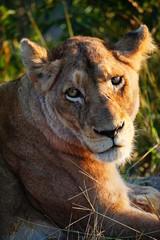 Löwe lächelt in die Kamera