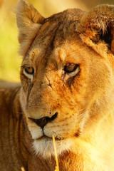 Löwenweibchen mit Narbe auf der Schnauze