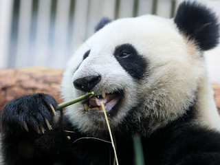 A giant panda eats bamboo at a zoo in Moscow