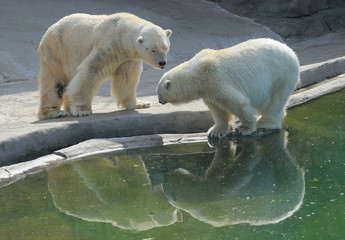 Polar bears are reflected in a pool at Moscow Zoo
