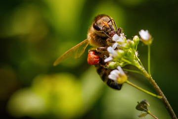 Obraz Bee on a white flower collecting pollen and gathering nectar to produce honey in the hive - fototapety do salonu