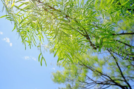 Bright green leaves of native Mesquite tree in Texas, blue sky in background.