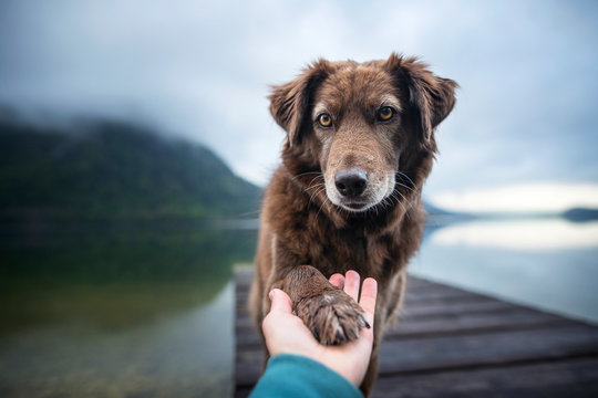 Dog gives human paw. Friendship between man and dog.