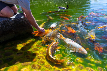Unidentified person feeds shoal of koi fish in Hasselt Japanese Garden in summer