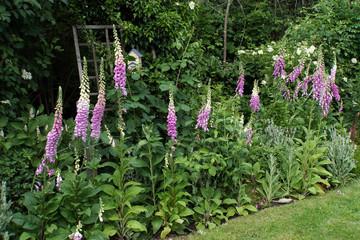 Obraz Roter Fingerhut (Digitalis purpurea) im naturnahen Garten - fototapety do salonu