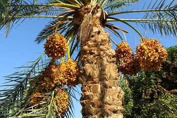 Palm with bright orange fruits