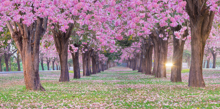 Pink trumpet tree tunnel have pink flower blooming and falling on grass with the sunshine light ray.