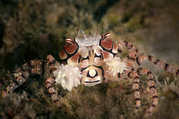 Boxer crab (Lybia tessellata).  Underwater macro picture from diving in Ambon, Indonesia