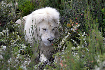 blond lion and lioness (South Africa)