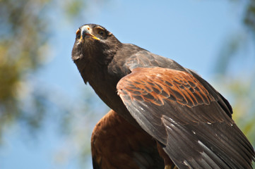 Harris Hawk gets ready to take off and fly transparent eyelid