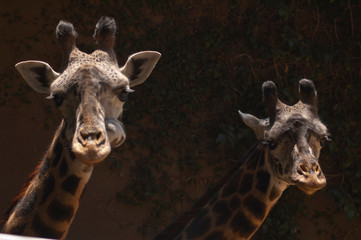 Two cute West African Giraffes look at camera , tongue out