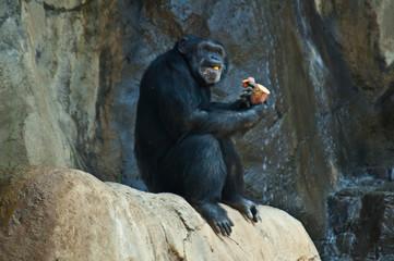 Mahale Mountain Chimpanzee at LA Zoo eats on a rock