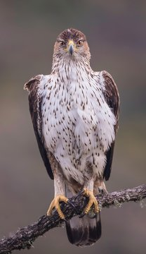 Bonelli's eagle looking at you straight in the eye