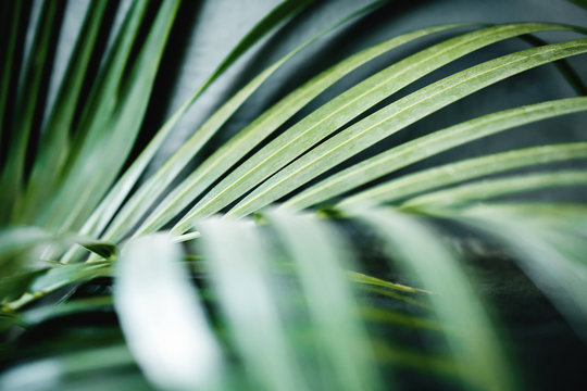 Areca Palm Leaf in Summer Light. Close up of Foliage. Tropical Botanical Tree. Selective Focus