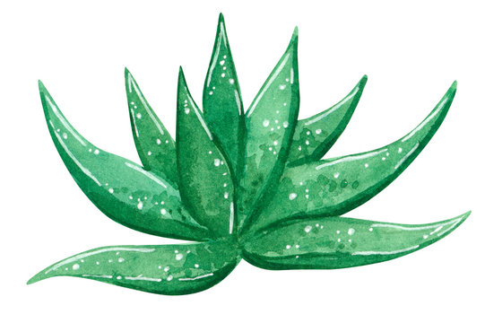 Green cactus, aloe vera,hand drawn watercolor illustration isolated on white