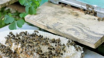 Wall Mural - Bees produce honey. Close view. Slow motion.