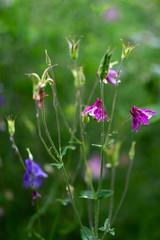 Aquilegia vulgaris aka Common columbine of different colors in garden during summer bloom