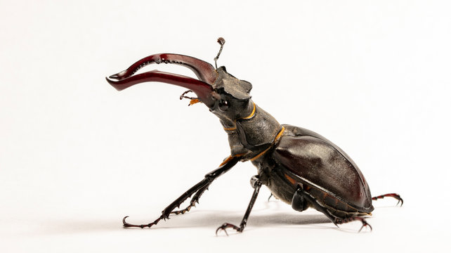 large stag beetle, studio photography