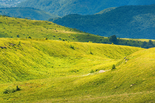 beautiful scenery of runa mountain, ukraine. green landscape on a bright forenoon. ridge in the distance. meadows of European blueberry also called Vaccinium myrtillus on hills.